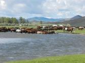 Jeden z najpiękniejszych scen w Mongolii; konie w rzece