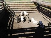 Zagroda ze świniami u zaprzyjaźnionych Buriatów