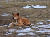 Psom mongolskim śnieg i mróz niestraszny