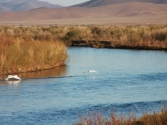 Łabędzie nad rzeką Herlen