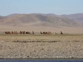 Stado wielbłądów - baktrianów, rzeka Herlen.