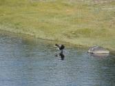 Kormorany potrafią ogołocić z ryb jeziora i rzeki Mongolii. Gatunek wcześniej nie występujący tutaj ciągle jest pod ochroną o zgrozo.