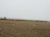 Głównym zajęciem na stepie jest chów zwierząt.Mongolia,Chenej 2010