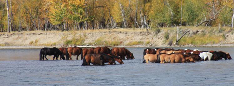 Przepiękne dzikie stada koni w Mongolii