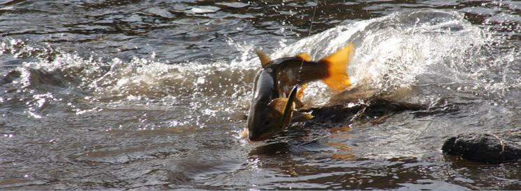 Ryby w rzekach Mongolii