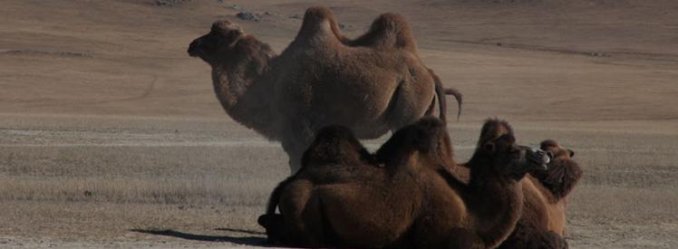 Wielbłądy i pustynie Mongolii